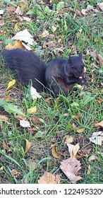 Adorable black squirrel sitting amongst the grass and fall leaves in the park.