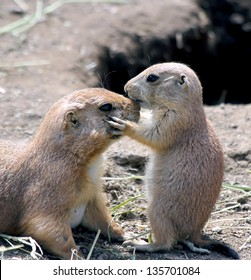 Adorable black tailed prairie dog puppy kissing his mother at nose.