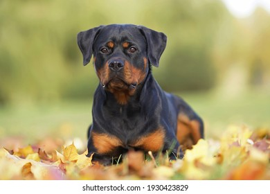 Adorable black and tan Rottweiler dog posing outdoors lying down on fallen maple leaves in autumn