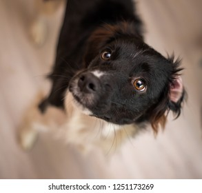 Adorable black and white Border Collie mix rescue dog looking up with a happy, curious expression. Indoor, inside a home, with a blurry background.