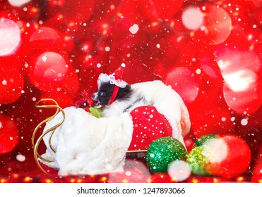 Adorable Black and White  Christmas Pomeranian Puppy In A Sled Being Mischievous With A Christmas Red Ribbon Bow And Green Ornaments