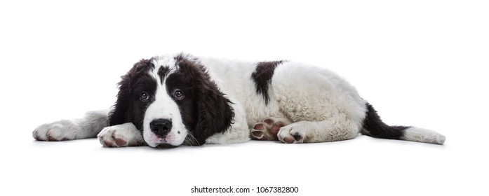 Adorable black and white Landseer puppy standing laying down side ways with head on paws isolated on white background while looking very bored