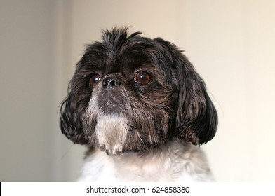 Black And White Shihtzu Images Stock Photos Vectors Shutterstock