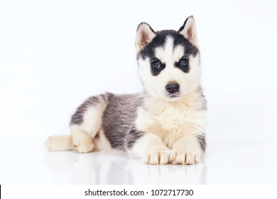 Adorable black and white Siberian Husky puppy with brown eyes lying down indoors on a white background