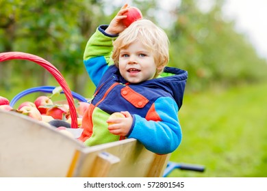 Adorable blond funny toddler boy of two years picking and eating red apples on organic farm, outdoors. Little kid having fun with helping and harvest