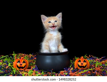 Adorable blue eyed orange buff kitten meowing, sitting in a cauldron with happy Jack o Lanterns, orange, green, purple and black confetti below and black background. Fun Halloween animal antics.