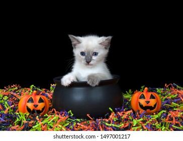 Adorable blue eyed siamese kitten sitting in a cauldron with happy Jack o Lanterns, orange, green, purple and black confetti below and black background. Fun Halloween animal antics.