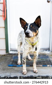 Adorable Blue Heeler Mix on Sitting on Porch