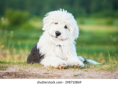 Adorable bobtail puppy lying in summer