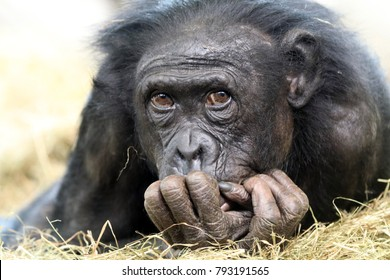 Adorable Bonobo portrait