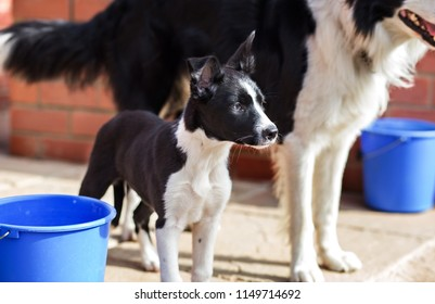 Adorable border collie puppy standing next to her father