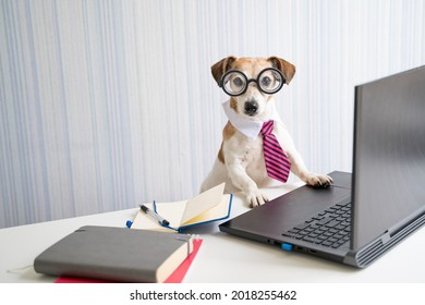 Adorable Boss nerd dog working on remote project online conference. Using computer laptop. Pet wearing glasses and tie. Freelancer work from home office Social distancing lifestyle. Looking at camera
