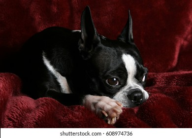 Adorable Boston terrier posing on a deep red plush background.