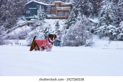 Adorable Boxer Dog playing in a snow covered frozen lake during winter time. Alta Lake, Whistler, British Columbia, Canada.