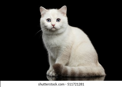 Adorable British breed Cat White color with magic Blue eyes, Sitting on Isolated Black Background with reflection