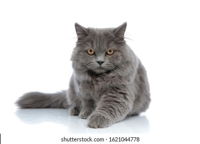 adorable british longhair cat with gray fur lying down with one paw forward serious against white studio background