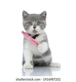 adorable british shorthair cat with one paw up is wearing a pink bowtie and sitting against white background