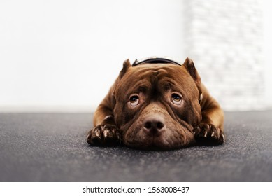 adorable brown american bully dog lying down indoors