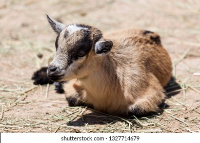An adorable brown, black, and white baby goat laying on the dirt ground in the sunshine at a petting zoo.