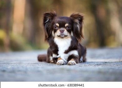 adorable brown chihuahua dog lying down outdoors