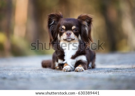 adorable brown chihuahua dog lying down stock photo edit now