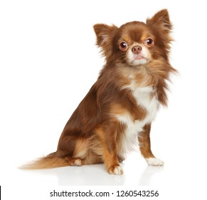 Adorable brown longhaired Mexican Chihuahua dog sits in front of white background