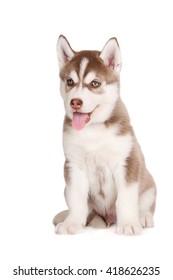 adorable brown siberian husky puppy