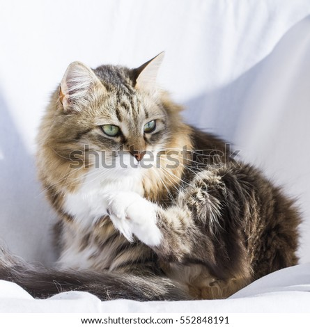 adorable brown tabby kitten siberian cat stock photo edit now