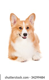 An adorable brown and white Corgi lying down against a white background