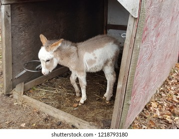 Adorable brown and white furry baby donkey foal in a barn.
