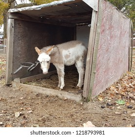Adorable brown and white furry baby donkey foal with big ears in a barn.
