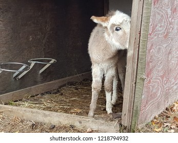 Adorable brown and white furry baby donkey foal staring at the camera in a barn.