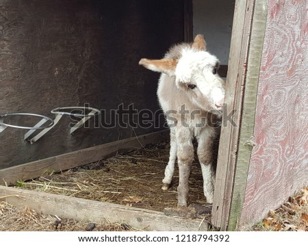 Adorable brown and white furry baby donkey foal eating in a barn.