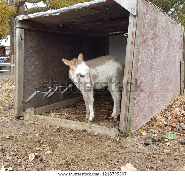 Adorable brown and white furry baby donkey foal standing in a barn.