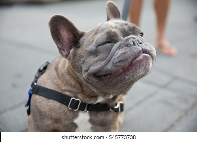 adorable bull dog smiling with eyes closed up at the sky - close-up of pup face in street