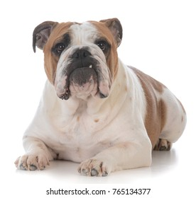 adorable bulldog with funny expression on white backgroun
