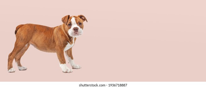 adorable bulldog puppy dog standing in front of a soft pink pastel background