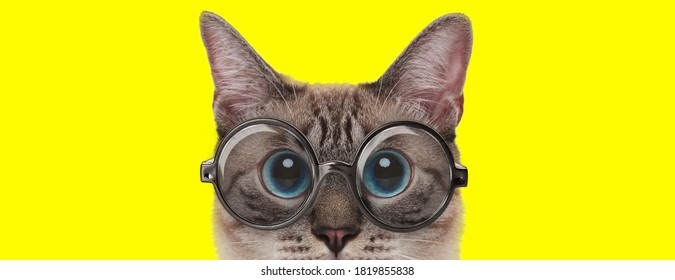 adorable cat with big eyes wearing glasses on yellow background