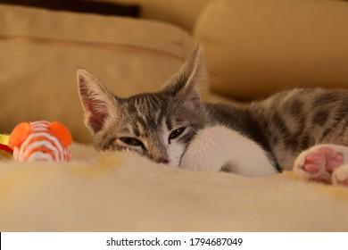 El gato adorable Lily está intentando dormir