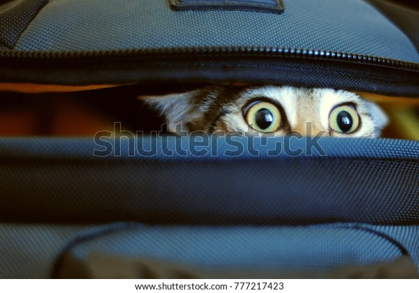 adorable cat peeking out of bag.