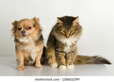 Adorable cat of tortoiseshell color and beautiful chihuahua dog with cute muzzles sitting together in studio against white background. Pets friendship concept.