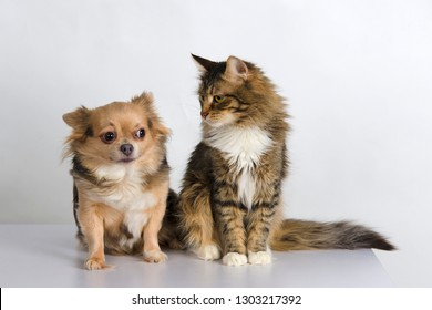 c8799e2f2d86f2 Adorable cat of tortoiseshell color and beautiful chihuahua dog with cute  muzzles sitting together in studio