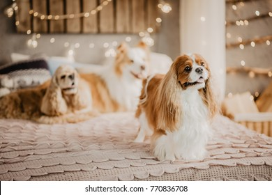 Adorable charles king spaniel standing on the bed with other dogs in the background