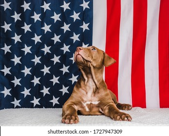 Adorable, charming puppy of chocolate color and American Flag. Close-up. No people. Studio photo, white color. Concept of care, education, obedience training and raising pets