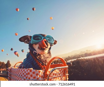 an adorable chihuahua in a bicycle basket at a hot air balloon launch festival at sunrise licking his nose and wearing a knitted sweater and goggles, toned with a retro vintage instagram filter