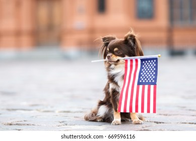 adorable chihuahua dog holding American flag in her mouth