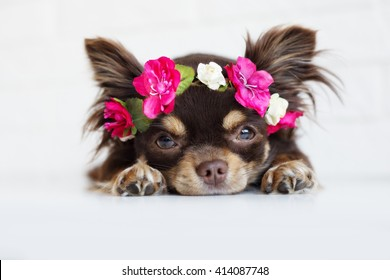 adorable chihuahua dog lying down in a flower crown