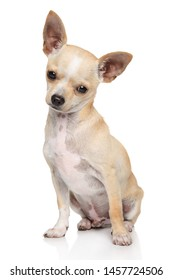Adorable Chihuahua dog sitting on white background. Animal themes