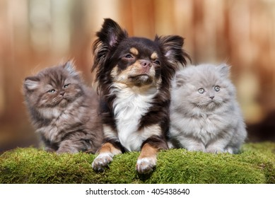 adorable chihuahua dog with two fluffy kittens