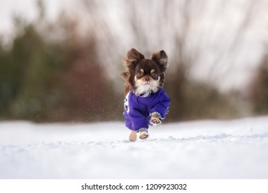 adorable chihuahua dog in winter clothes running outdoors
